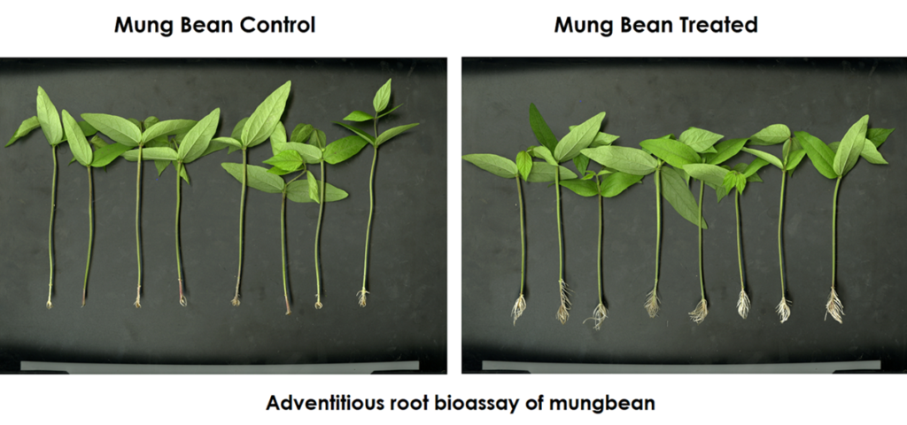 adventitious root bioassay of mungbean-vyapaarjagat